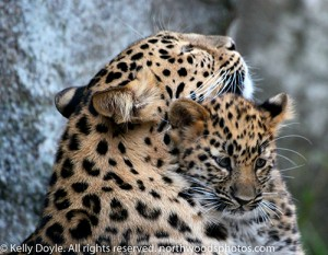 Amur Leopard mother and cub