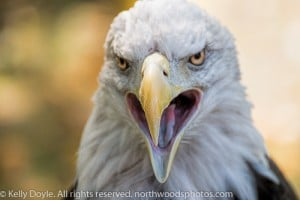 Bald Eagle talking head
