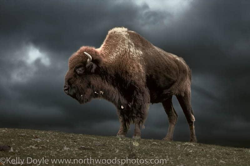 Bison Moody Sky
