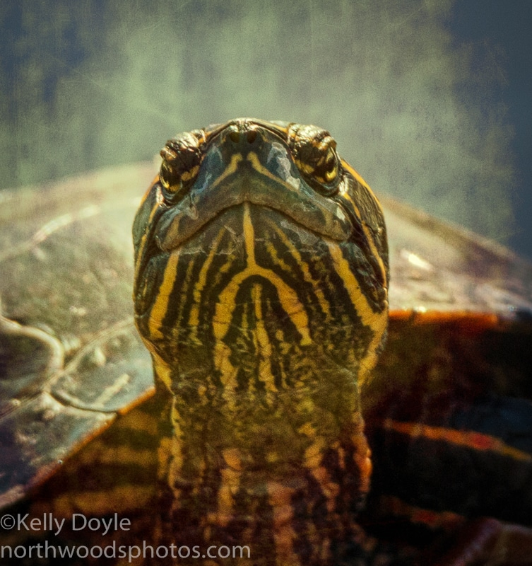 Painted Turtle Portrait