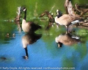 Canada Goose Pair abstract