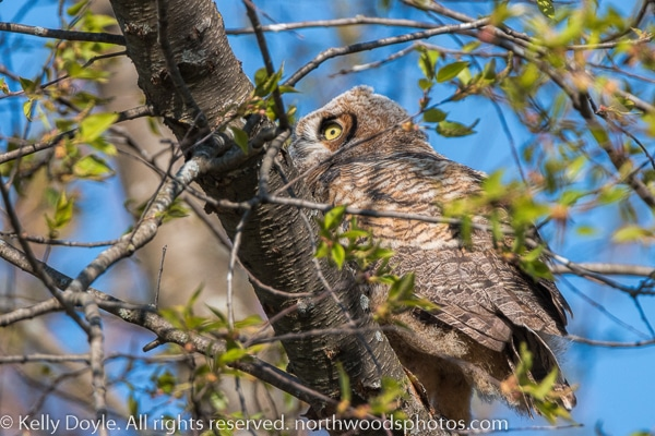 Great Horned Owlet Branching