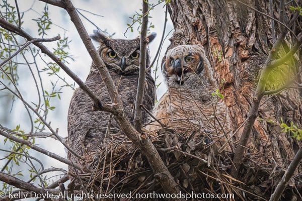 Great Horned Owl Mom and Owlet in Nest