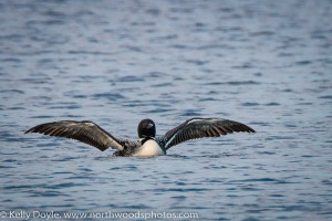 Common Loon, Gunflint Lake
