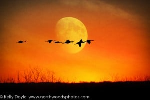 Crex Meadows Sunset Moon Sandhill Cranes