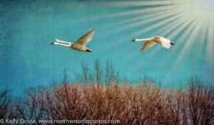 Trumpeter Swans Sun Rays