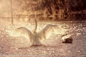 Trumpeter Swan Fairytale