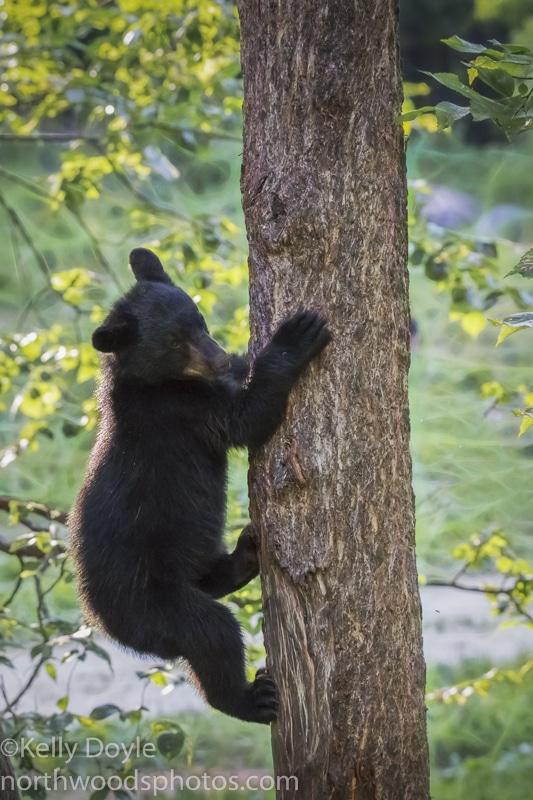 american black bears in minnesota north woods photos
