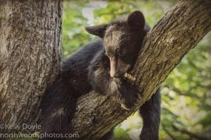 Black Bear Cub Sleeping in a Tree