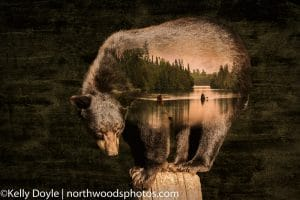 Boundary Waters Bear